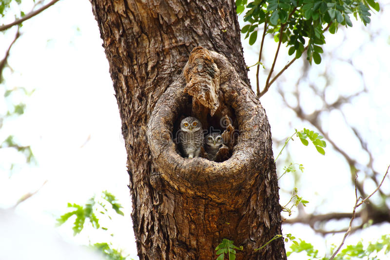Two Spotted owlets stock image