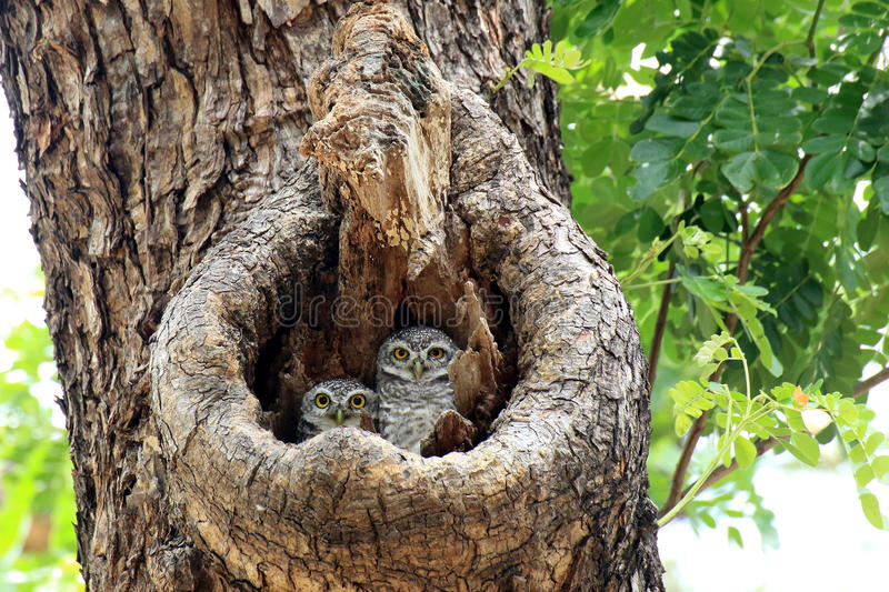 Two Spotted owlets stock photo