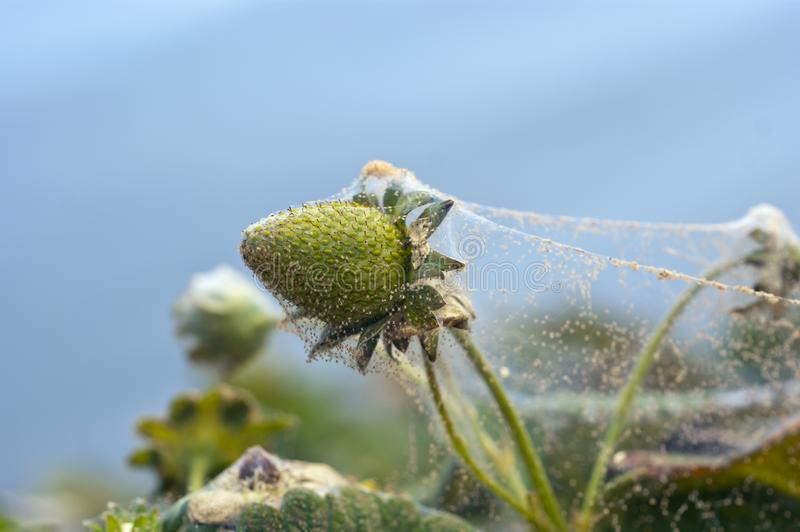 Two spotted spider mite webbing royalty free stock images