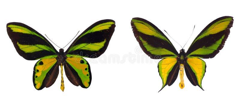 Two sppecies of birdwings. Ornithoptera tithonus and Ornithoptera paradisea isolated on white stock images