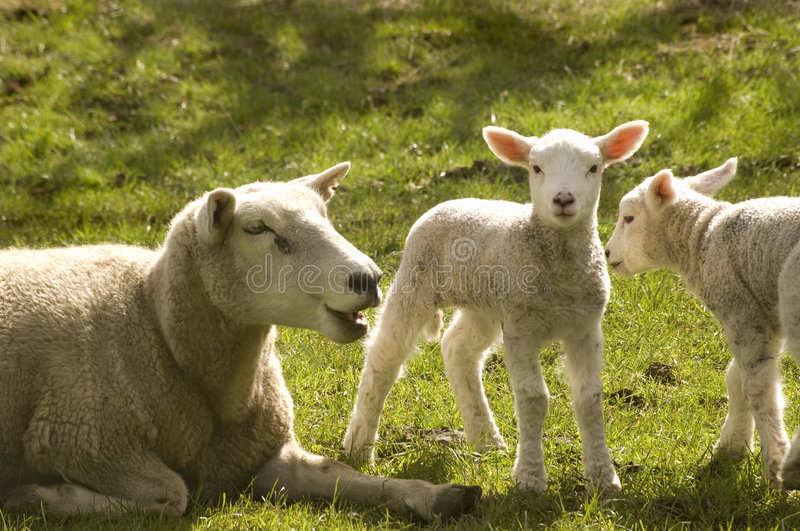 Download Two Spring Lambs stock image. Image of innocence, soft - 3068781
