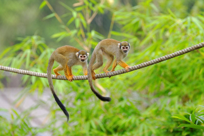 Two squirrel monkeys stock photo. Image of tree, primate - 36289546