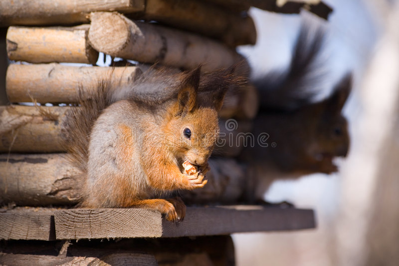 Two squirrels stock photography