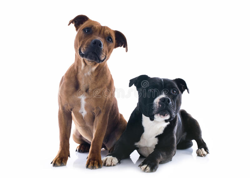 Two staffordshire bull terrier stock image