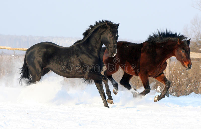 Download Two stallions stock image. Image of spectacle, liberty - 12264745