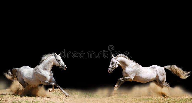 Two stallions stock photos