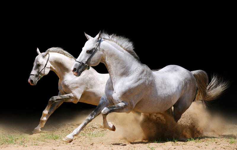 Two stallions in dust royalty free stock photo