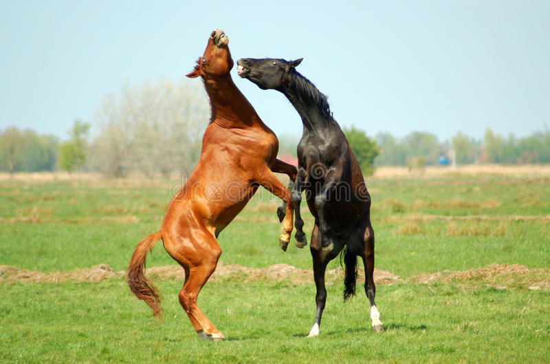 Download Two Stallions In Fight Royalty Free Stock Photos - Image: 10742778