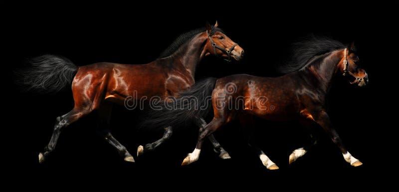 Two Stallions Trot Stock Photo