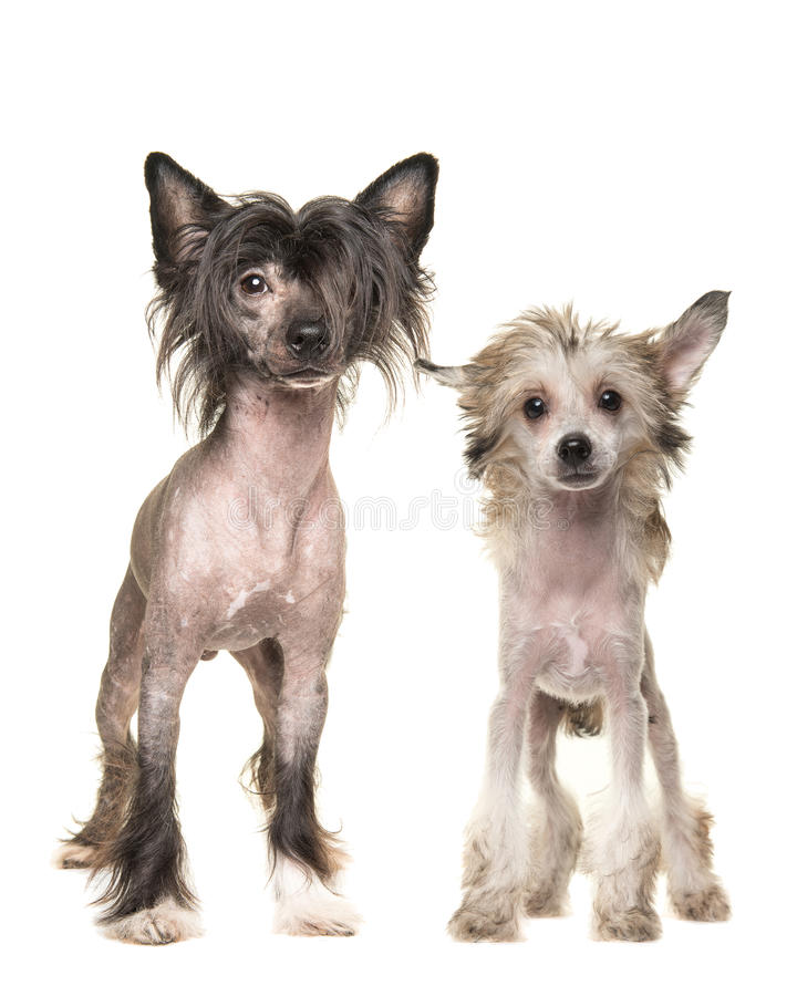 Two standing naked chinese crested dogs. Two naked chinese crested dogs standing and facing the camera isolated on a white background royalty free stock photo