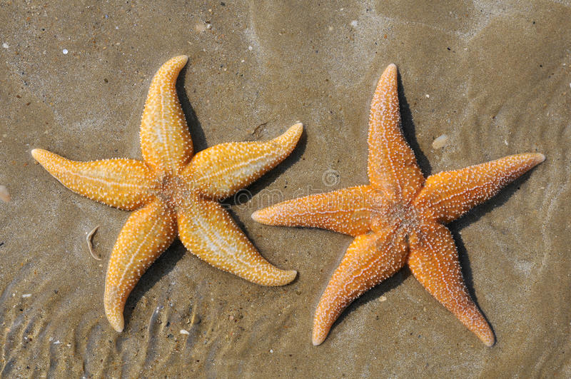 Two starfish on sand stock photography