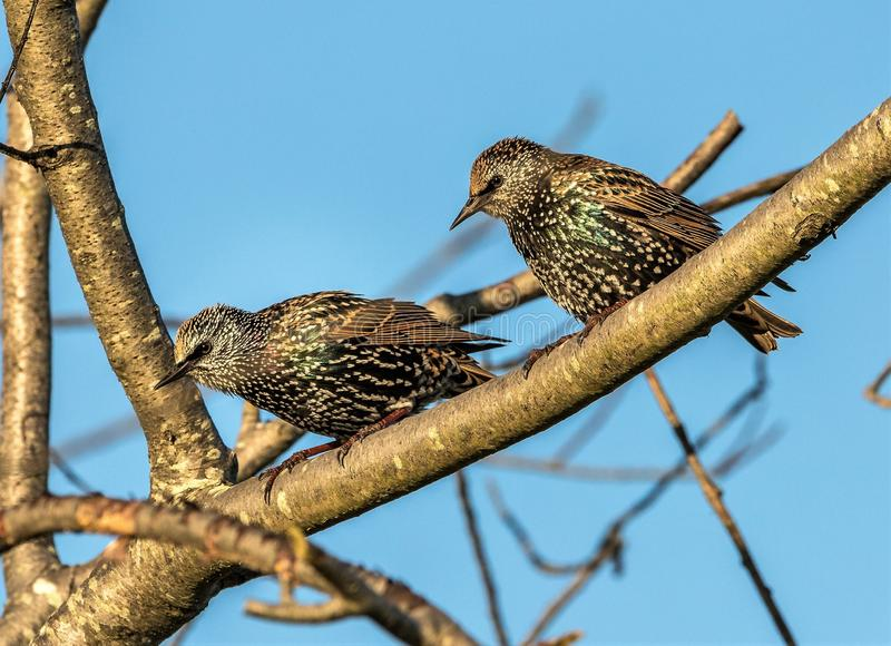 Starlings on a limb. The two Starling birds were just sitting on a tree limb overlooking the river on this cool autumn day. The Starling nest in trees and eat stock image