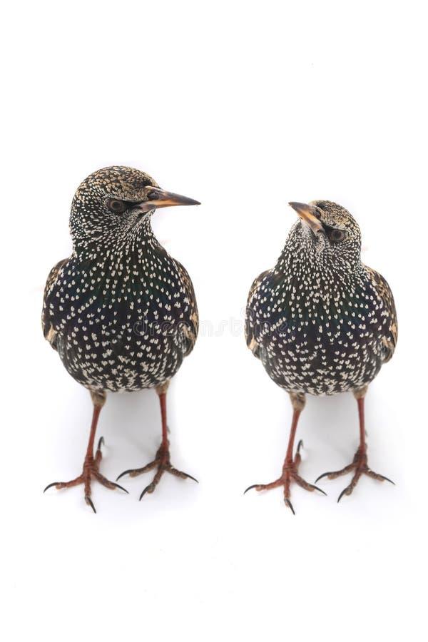 Two Starling. (Sturnus vulgaris) isolated on white. Studio shot stock photo