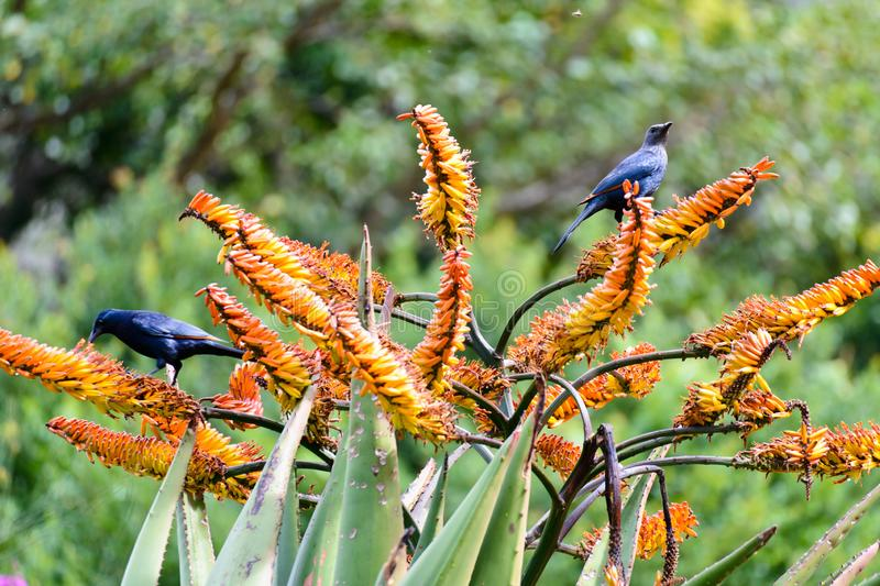 Two starlings in Kirstenbosch National Botanical Garden. Two starlings are resting on the branches of a blooming aloe in Kirstenbosch National Botanical Garden royalty free stock photography