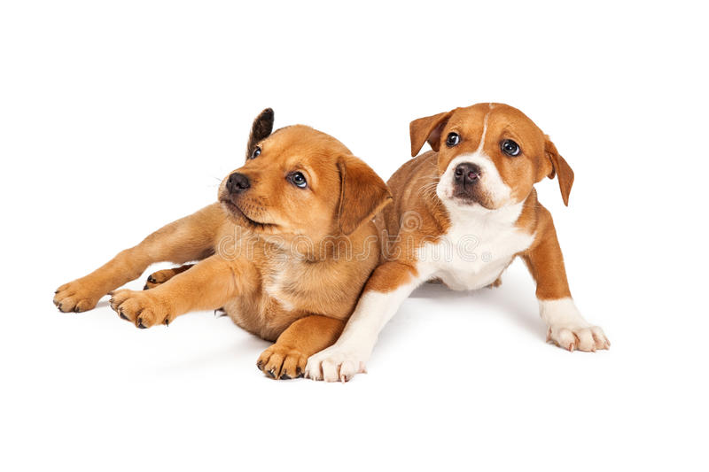 Two Startled Puppies. Two adorable eight week old mixed Shepherd breed puppy dogs with a scared expression stock photo