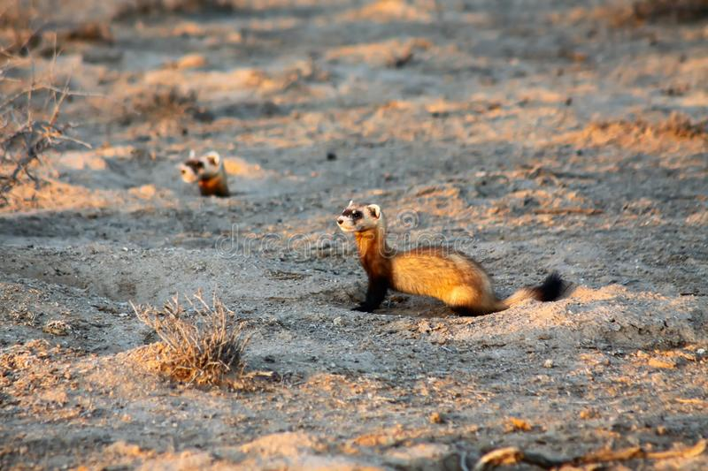 Two Steppe polecats Mustela eversmanni stock image