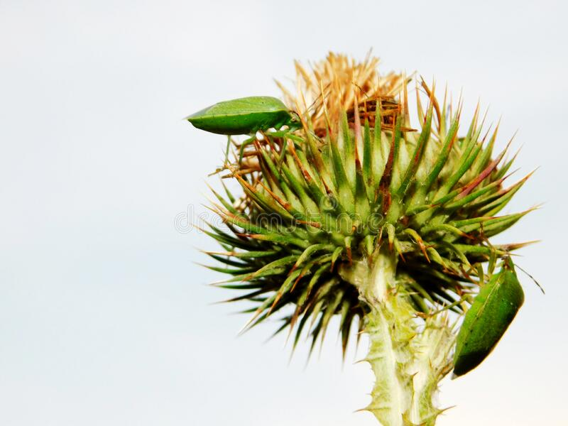 Two stink bugs on a green burdock stock photo