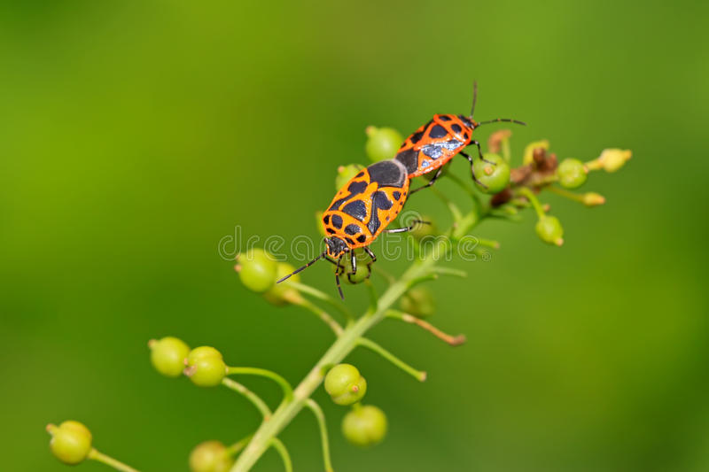 Two stinkbugs. On the green leaf stock photos