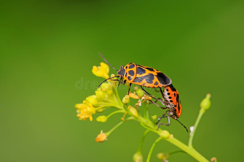 Two stinkbugs. On the green leaf stock photography