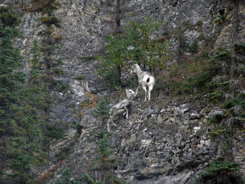 Stone Mountain Dall Sheep Alaska Highway Yukon Canada royalty free stock photos