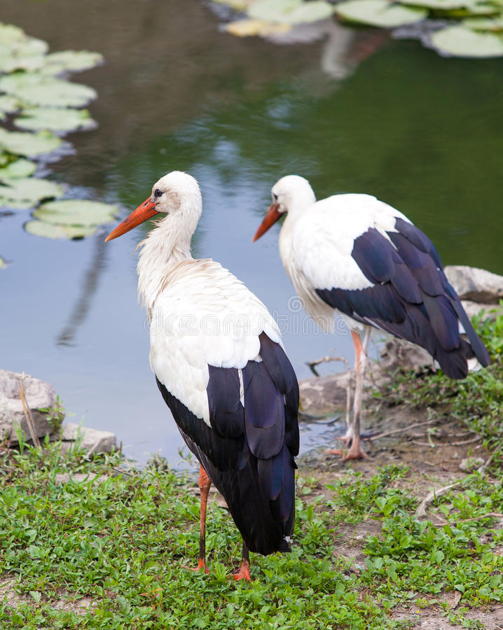 Download Two storks are at the lake stock image. Image of birth - 33690877