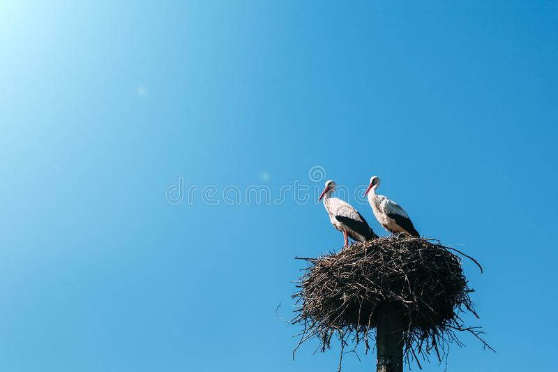 A two storks in the nest royalty free stock images