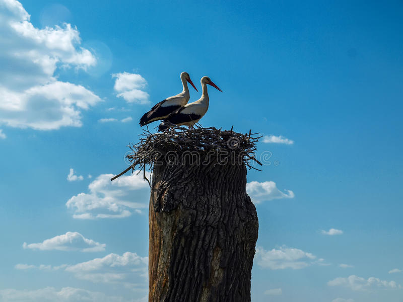 Two storks in a nest on an old tree in a fine spring sunny day. royalty free stock images