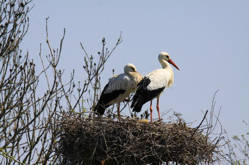 Two storks in a nest on a tree royalty free stock photography