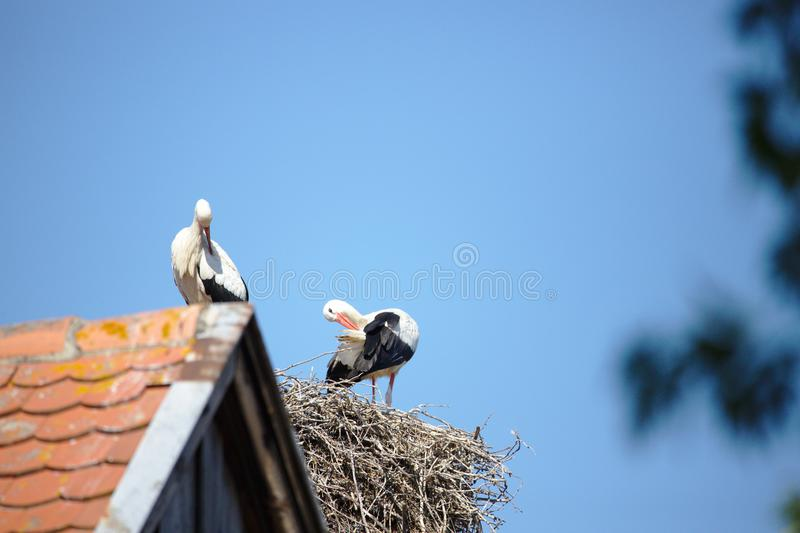 Two storks on roof and nest stock images