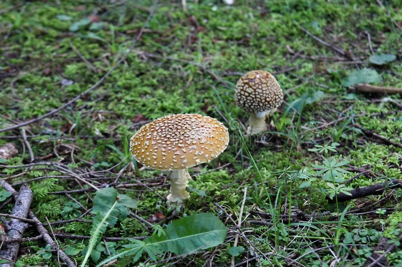 Two strange mushrooms grow on the ground covered with small green grass in the forest royalty free stock images
