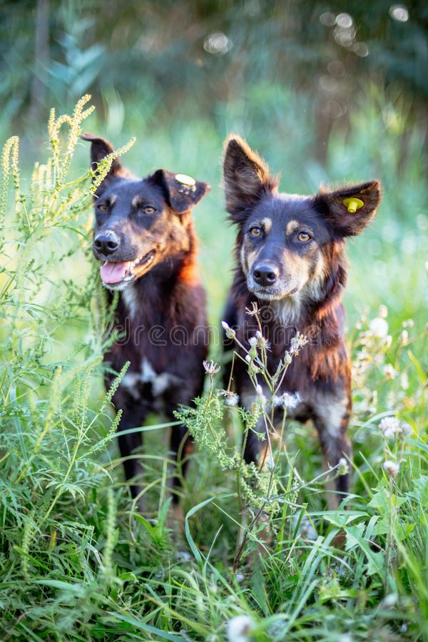Two stray dogs in the green grass. Dog with chip on the ear royalty free stock photos