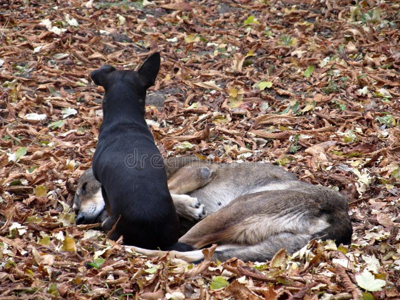 Two stray dogs lying side by side on autumn leaves stock photos