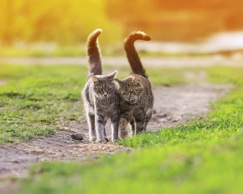 Two striped friendly funny cats love walking on a green meadow i stock photo