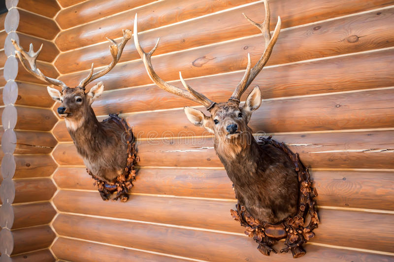 Two stuffed deer heads on wall. Close up trophy of two stuffed deer heads hanging on wooden wall stock image