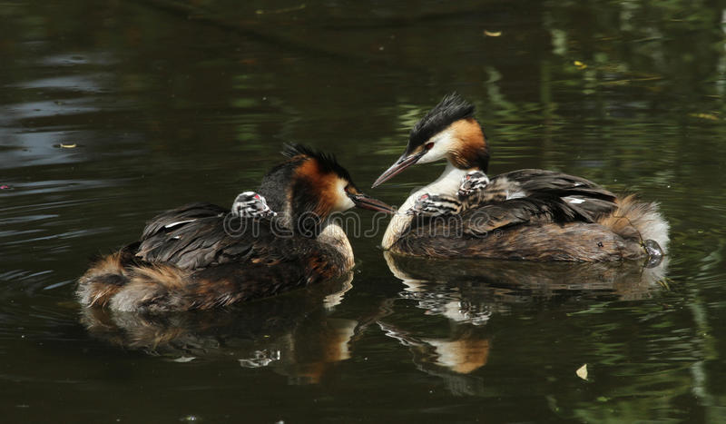 Two stunning adult Great crested Grebe Podiceps cristatus both with their cute babies riding on their backs swimming on a river. stock photography