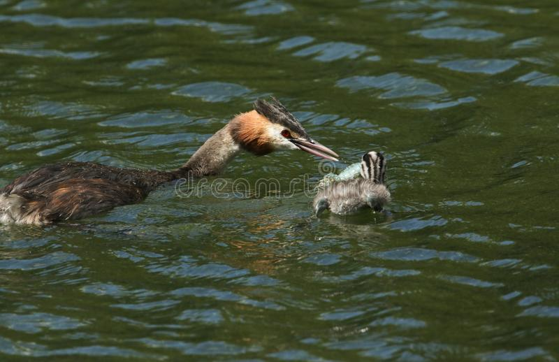 Two stunning Great Crested Grebe Podiceps cristatus swimming in a river. The parent bird is feeding a Crayfish to the baby. Two cute Great Crested Grebe stock photo