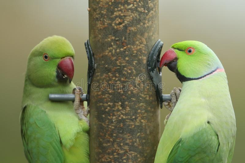Two stunning Ring-necked Parakeet Psittacula krameri feeding from a seed bird feeder in the UK. Two pretty Ring-necked Parakeet Psittacula krameri feeding from royalty free stock photo