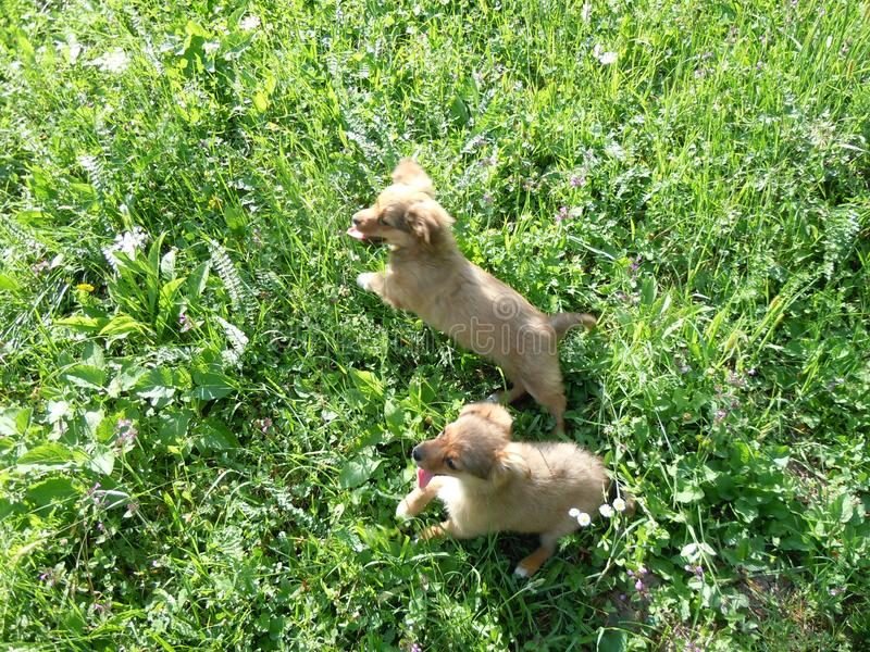 Two stupid dogs running in the high grass stock photo