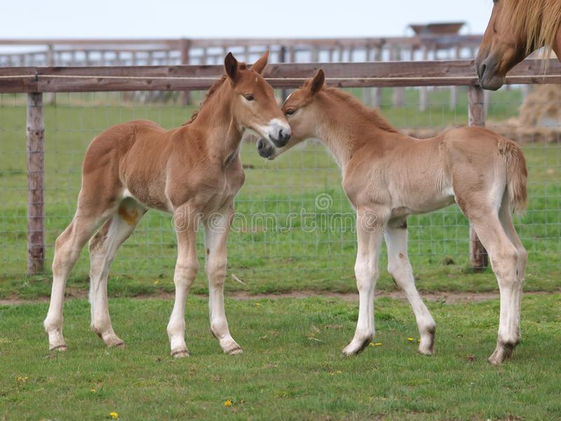 Two Suffolk Foals stock images