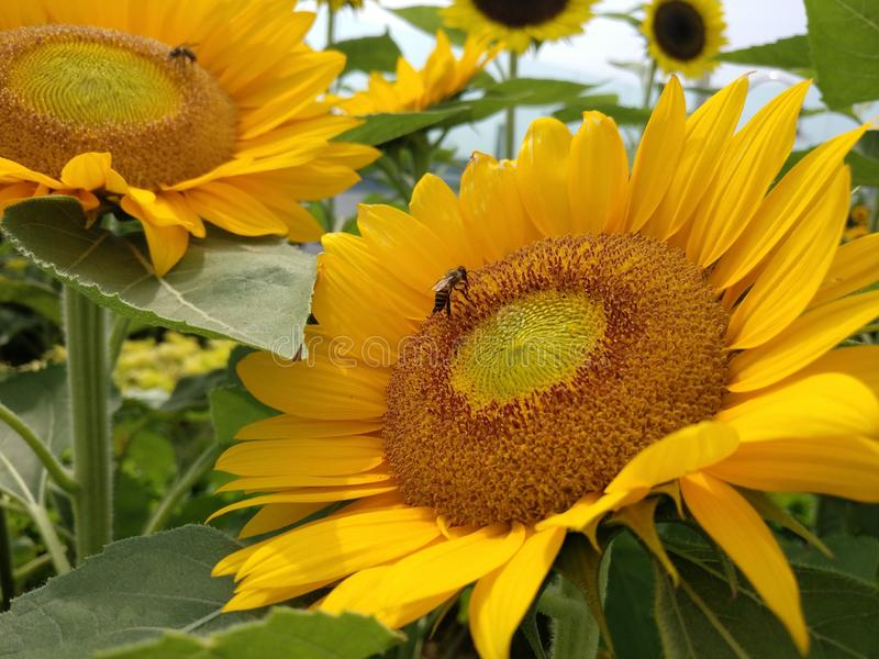 Two sunflowers with motion blur. With the best quality and resolution stock photos