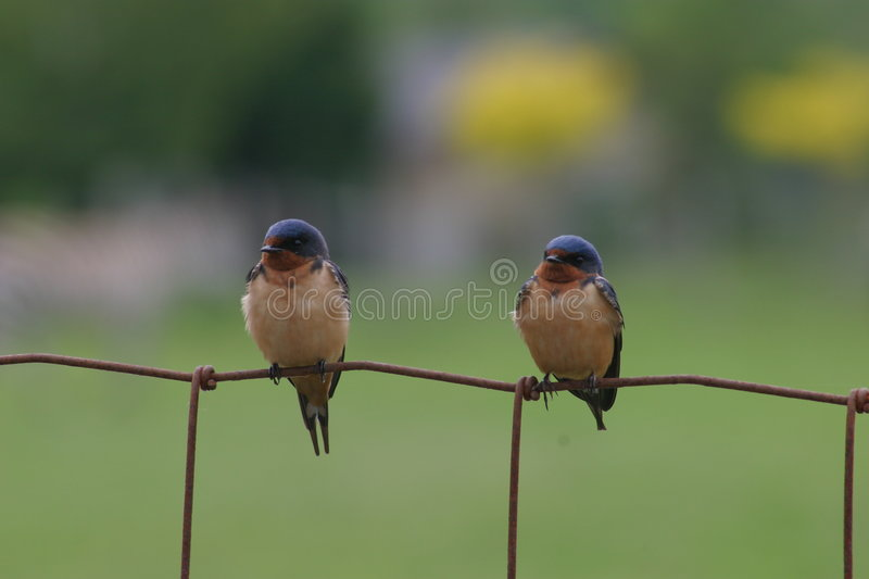 Two Swallows royalty free stock image