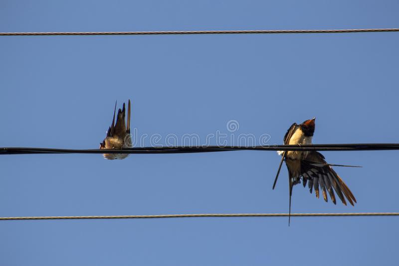 Two swallows on a wire against the blue morning sky. royalty free stock image