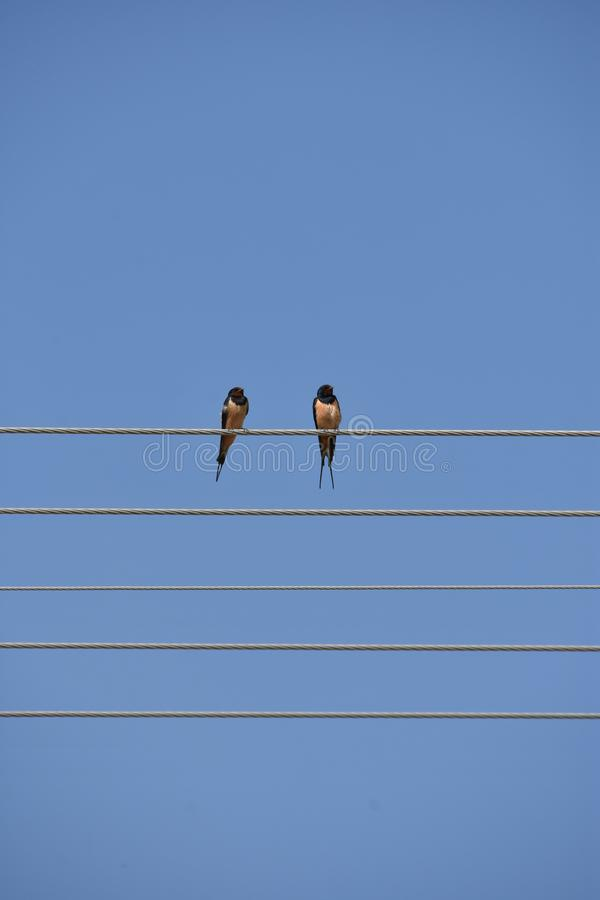Two swallows on the wire like notes on the sheet music royalty free stock photography