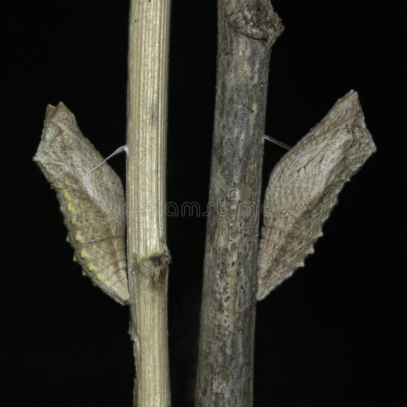 Two Swallowtail Butterfly Pupae on Dry Sticks royalty free stock image