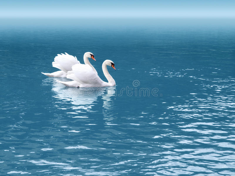 Two swan royalty free stock image