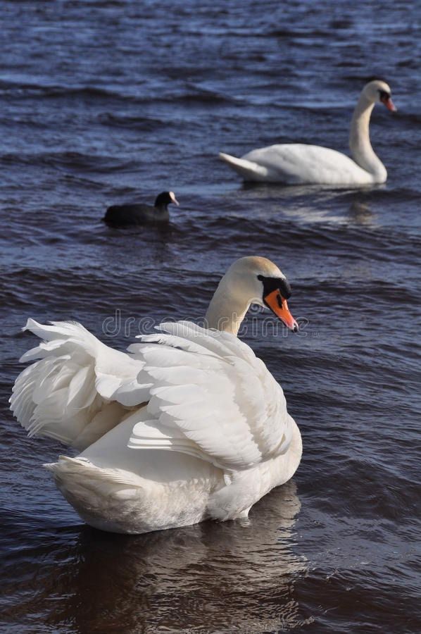 Download Two swan stock photo. Image of graceful, beauty, family - 23657424
