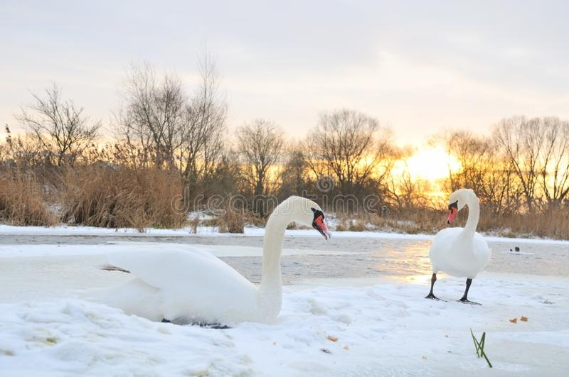 Download Two swan stock photo. Image of north, couple, female, floatable - 7857350