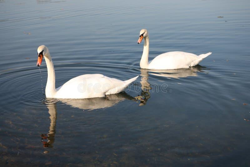 Two Swan On Lake Royalty Free Stock Photos