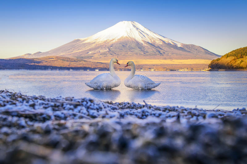 Two Swan in the Yamanaka Lake with Fuji Mountain background royalty free stock photos