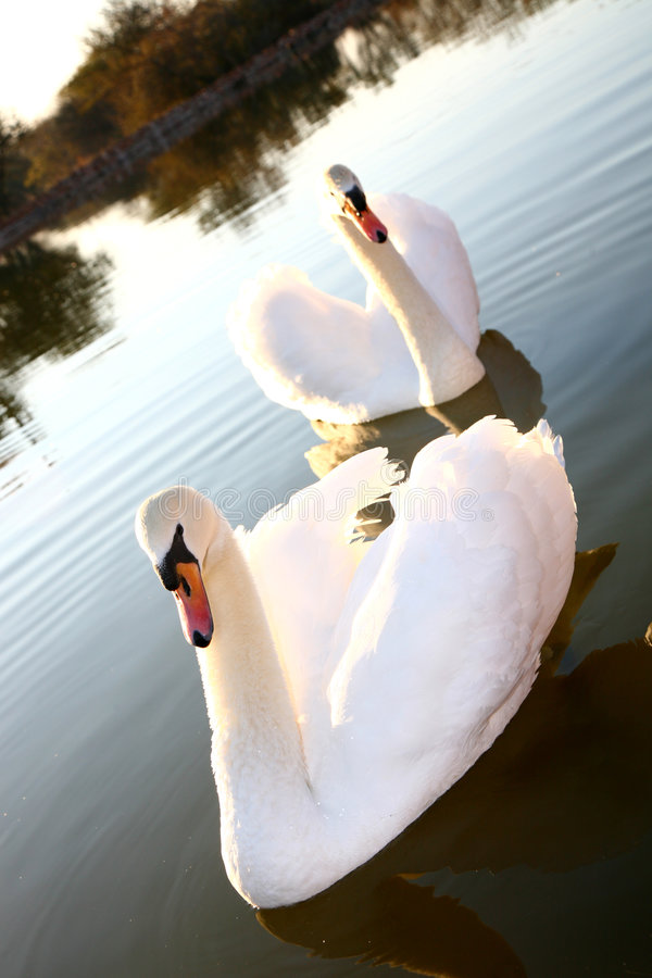 Free Two Swans Stock Photos - 1091183